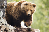 Pyrenees Brown Bear